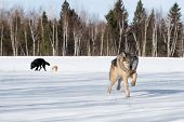 Grey Wolf (canis Lupus) Runs Forward Other Wolves In Background - Captive Animals poster
