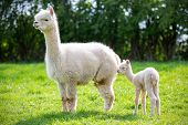 White Alpaca With Offspring, South American Mammal poster