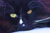 Muzzle Of Black Cat Close Up Laying. Domestic Pet Having A Rest. Domestic Animal. Black Cat Sleeping poster