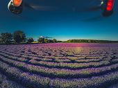 Aerial View Of Lavender Flower Blooming Scented Fields In Endless Rows. poster