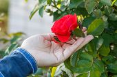Woman Is Holding Rose Flower On The Bush With Green Leaves On The Background. Selective Focus On The poster