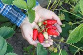 Gardener Is Holding Ripe Strawberries On Palms With Soil On The Background. Top View. Ripe And Unrip poster