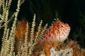 pic of hawkfish  - The view of a hawkfish coming out from between sea plants KwaZulu Natal South Africa - JPG
