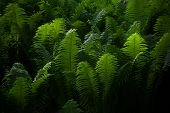 Beautyful Ferns Leaves Green Foliage Natural Floral Fern Background In Sunlight. poster