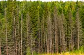 Dense Coniferous Spruce Forest Of Tall Spruce Grows With A Dense Wall,russia,karelia poster