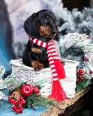 Puppy dachshund; New Years puppy; Christmas dog; poster