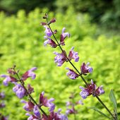 image of clary  - The medicinal plant Salvia officinalis blooms in the garden - JPG