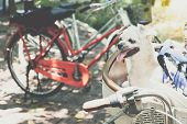 Dog So Cute On Bicycle Basket Wait For Travel poster