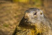 Face Of Alpine Marmot In Closeup, Wild Squirrel From The Alps Of Europe, Rodent Specie poster