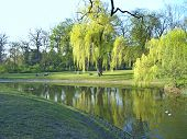 Beautiful Park With Big Green Willows Growing On Bank Of River. Urban Nature In Lodz. Green Trees Gr poster