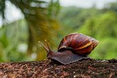 Giant African Land Snail - Achatina Fulica Large Land Snail In Achatinidae, Similar To Achatina Acha poster