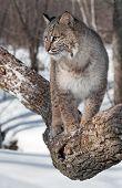 foto of bobcat  - Bobcat  - JPG