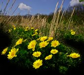 stock photo of adonis  - bright yellow flowers of the adonis against the sky in a sunny day - JPG