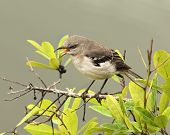 pic of mockingbird  - Mockingbird Screeching Loudly on top of a Tree  - JPG
