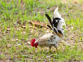 stock photo of bantams  - White Bantam on grass in Countryside from thailand - JPG