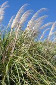 foto of pampas grass  - Pampas grass reaching for the deep blue sky - JPG