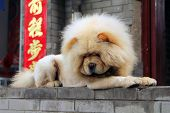 White Chou-chou Dog