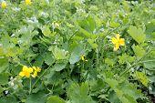 stock photo of celandine  - medical yellow celandine bloom in the meadow - JPG
