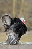 pic of black-cock  - The flight of turkey - JPG