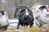 picture of black-cock  - The flight of turkey - JPG