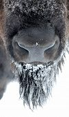 pic of aurochs  - Large male bison in the winter season - JPG