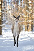 stock photo of cleaving  - Young deer standing in snow in winter forest - JPG