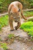 stock photo of cougar  - Close up big cougar in natural habitat - JPG