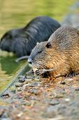 image of muskrat  - The muskrat  - JPG