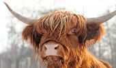stock photo of cattle breeding  - Close up beautiful portrait brown scottish cattle - JPG