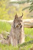 Lynx Canadensis - Looking Right poster
