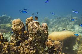 foto of damselfish  - Bicolor damselfish and blue chromis swiming above coral - JPG