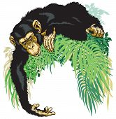 pic of chimp  - chimpanzee or chimp ape - JPG