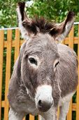 stock photo of headstrong  - Donkey closeup portrait in sunny day - JPG