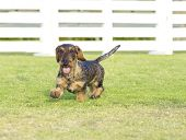 picture of short legs  - A young beautiful dapple black and tan Wirehaired Dachshund walking on the grass - JPG