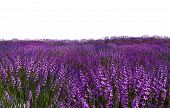 stock photo of lavender field  - lavender field  - JPG