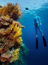 image of bottomless  - Underwater shot of the lady free diver in wet suit ascending along the vivid coral reef wall - JPG