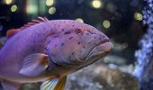 picture of grouper  - This is a Leopard grouper in the sea Aquarium. ** Note: Soft Focus at 100%, best at smaller sizes - JPG