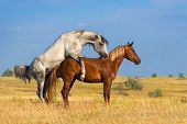 picture of mating animal  - Grey and red horse mating in the field - JPG
