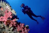 Diver and soft coral wall poster