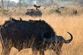 stock photo of cape buffalo  - Buffalo and cleaning bird game reserve - JPG