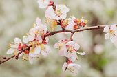picture of cherry trees  - Photo of beautiful cherry blossom on tree branch  - JPG