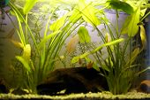 picture of freshwater fish  - Freshwater aquarium tank with plants and fishes - JPG