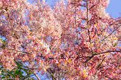 stock photo of cassia  - Pink Cassia Pink Shower on their branch