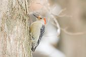 image of woodpecker  - Red-bellied woodpecker perched on the side of a tree in winter