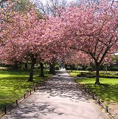 foto of cherry-blossom  - Cherry Blossom lined path - JPG
