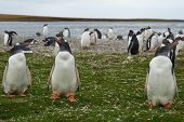 pic of falklands  - Gentoo Penguins  - JPG