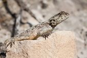 picture of lizards  - Brown lizard lying in the heat of the sun on a rock - JPG