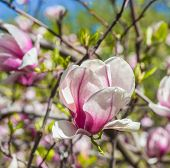 picture of magnolia  - Magnolia flowers - JPG
