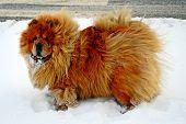 pic of seeing eye dog  - Chow Chow Dog Dina sun and white snow - JPG