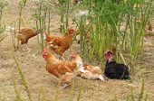 foto of poultry  - Ile de France poultry farming in Brueil en Vexin - JPG